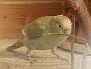 Ziegensittich -Henne