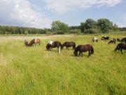 Shetland Pony - Shetty- Fohlen Tolle