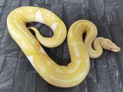 0 1 Albinopied