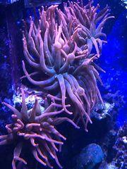 Quadrocolor Kupferanemone