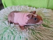 skinny Pig Böckchen