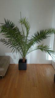 Dattelpalme ca 180 cm
