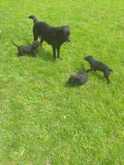 Labrador Retriever Mix Welpen Hündin