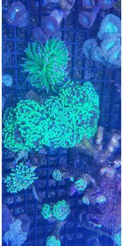 Korallen sps lps