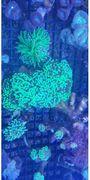 Korallen sps lps - Plattling - . verkaufe Ableger ab 5 Euro - Plattling