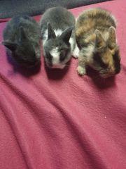 3 süße Zwergbaby Hasen zu