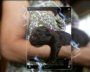 süße Labrador-Welpen braun reinrassig noch