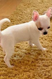 Chihuahua Welpe
