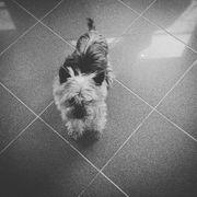 Yorkshire Terrier oder Biewer welpen