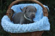 Labrador Welpen silber und charcoal