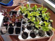 87 Salat Jungpflanzen - Pflücksalat Maria