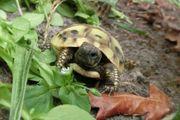 Griechische Landschildkröten Nachzuchten von 2015