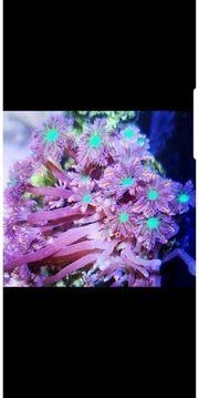 clavularia tricolor lps koralle Meerwasser