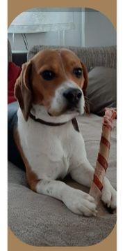 Beagle Tricolor Deckrüde