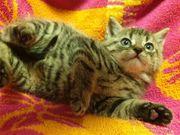 kleines hübsches Katzenbaby Tiger