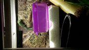 Lygodactylus williamsi Himmelblauer Zergtsggecko