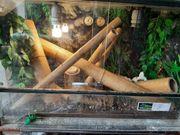 Phesluma Grandis Madagaskar Taggecko mit