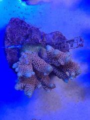 Meerwasser Korallen Acropora Millepora Rainbow