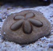 sanddollar Meerwasser