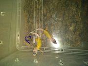 Wunderschöne leopardgeckos
