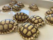 Spornschildkröte Centrochelys Sulcata DNZ 08
