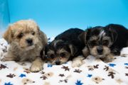 Süße Yirkshire Terrier- Mini Malteser