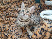 Bengal kitten 14 wochen weiblich