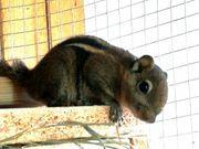 2 chin Baumstreifenhörnchen