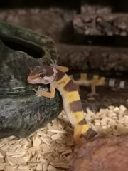 Leopardgeckos aus Hobbyauflösung abzugeben