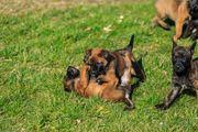 Welpen Malinois Herder Schäferhund Mix