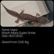 Leopardgecko NZ20 - Auszugsbereit