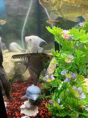 2 Stück Skalar Fische