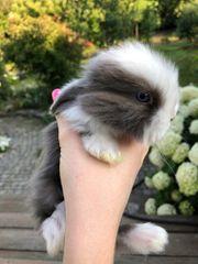 Zwergwidder Kaninchen Hasen