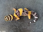 Leopardgecko 2021 Weibchen Männchen WY