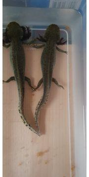 Axolotl Nachzuchten vom Februar 2021