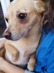 Chihuahua Mix- Goldstück sucht ihre