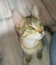 Katze EKH Kitten Shelly