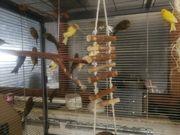 29 Kanarienvögel 250