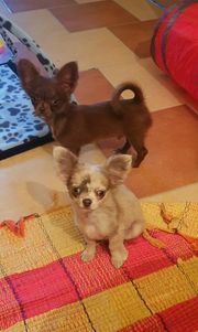 Chihuahua Rüden suchen zuhause