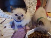 Wunderschöne Siam Heilige Birma Kitten