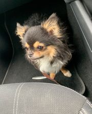 Erfahrener Chihuahua Deckrüde kein Verkauf