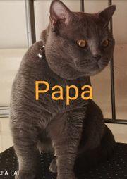 Reinrassige BKH WurfankündigungHallo Meine Katze