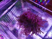 Heteractis crispa Anemone meerwasser aquarium