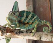 Jemenchamäleon Männchen NZ 15 05