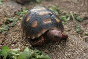 Köhlerschildkröten Nachzucht 2020