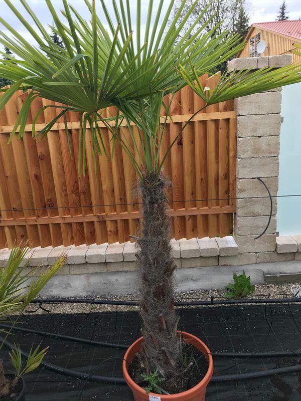 Trachycarpus fortunei Hanfpalme