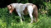 Ponypfleger in gesucht