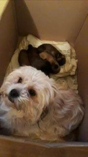 Malteser und Yorkshire Terrier Welpen