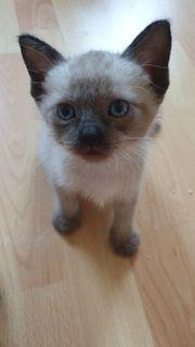 süße siam kitten