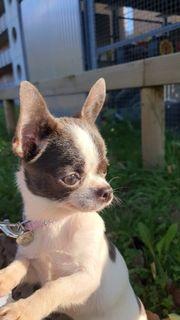 Chihuahua Mädchen Melodie
